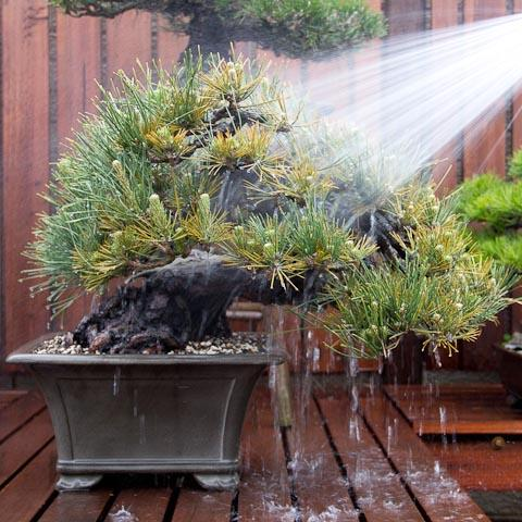 japanese_black_pine_bonsai_tree_repotting-024_large