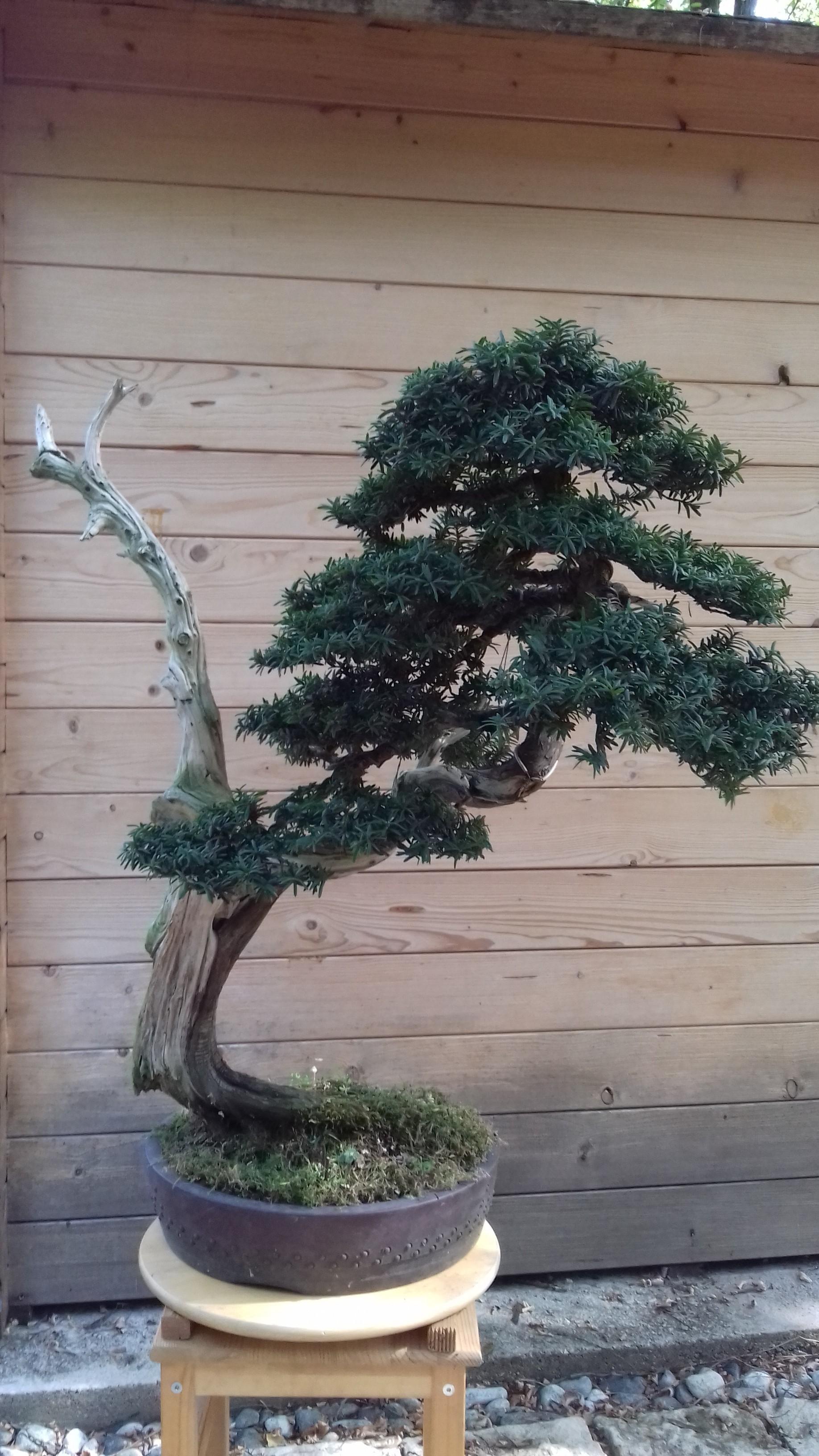 Cimatura estiva su tasso cuspidata nihon bonsai for Dove comprare bonsai